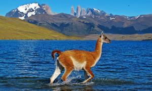 Patagonia-Torres_del_Paine-Guanaco